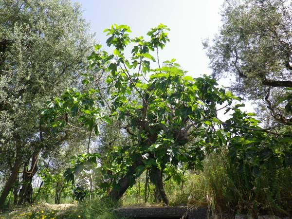 Tra parentesi ( Compare Uccio che all'albero della vita ha preferito l'albero dellafica)